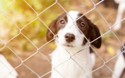 A black and white puppy looking up through a chain-link dog fence in Bloomington IL